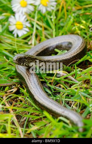 Slow Worm - Anguis fragilis - Stock Photo