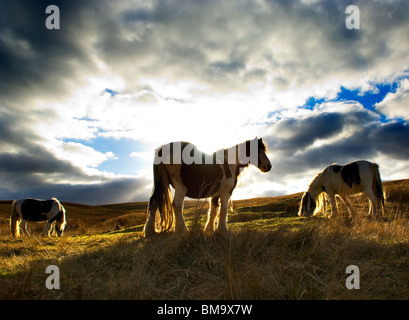 3 wild ponies grazing on moorland in North Yorkshire UK.  Back-lit against the evening sky. - Stock Photo