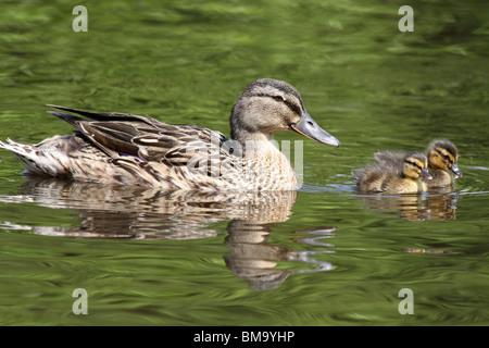 Female Mallard Anas platyrhynchos With Ducklings Taken At Martin Mere WWT, Lancashire UK - Stock Photo