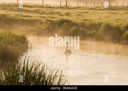 Cotswolds - Mute Swan on the River Windrush at dawn - Stock Photo
