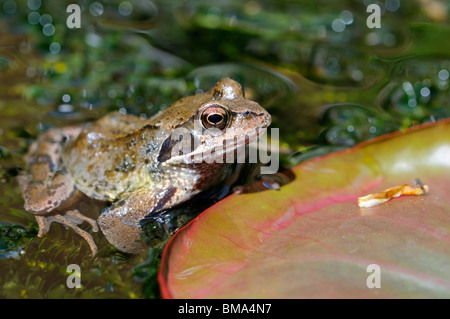 Common Frog (Rana temporaria) adult in garden pond. Kent, UK, May. - Stock Photo
