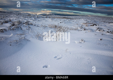 Animal tracks in snow the Blorenge moorland in winter Wales UK - Stock Photo