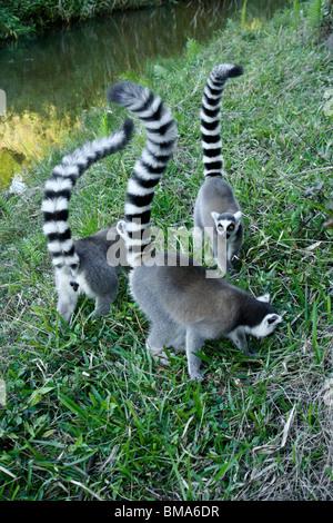 Ring-tailed lemurs, Lemurs Island, Andasibe, Madagascar - Stock Photo