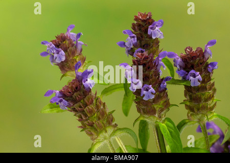 Common Selfheal (Prunella vulgaris), flowering stalks. - Stock Photo