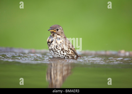 Song Thrush Turdus Philomelos with wet plumage bathing in a reflecting pool - Stock Photo