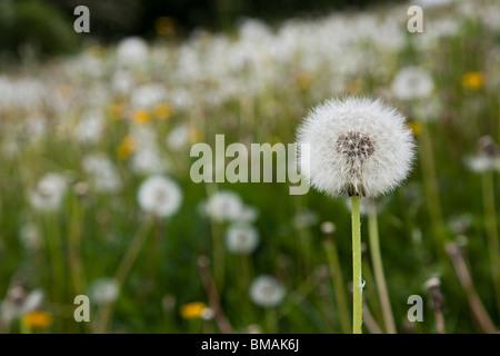 Dandelion Taraxacum officinale seed head UK - Stock Photo