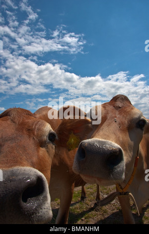 curious cows on a beautiful summer day - Stock Photo