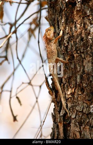 Oriental Garden Lizard (Calotes versicolor) in Kanha, Madhya Pradesh, India, Asia - Stock Photo