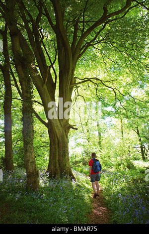 Walker on path through woods Coed Cadw Gray Hill in Wentwood Gwent Wales UK - Stock Photo