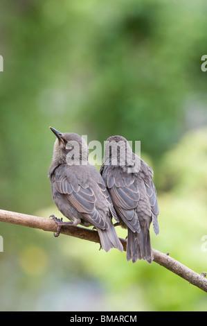 Sturnus vulgaris. Young Starling fledglings - Stock Photo