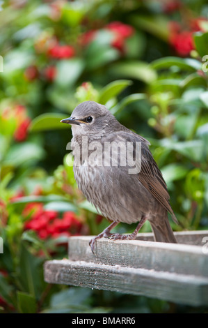 Sturnus vulgaris. Young Starling fledgling sitting on a bird table. UK - Stock Photo