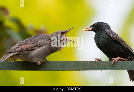 Sturnus vulgaris. Starling feeding a young fledgling - Stock Photo