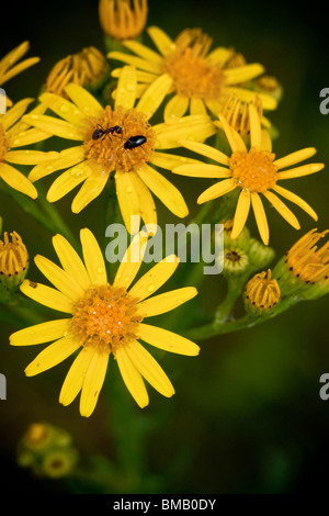yellow flower with water drops and bugs, nature - Stock Photo
