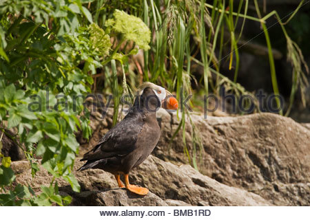 A tufted puffin perches by the entrance to it's nesting burrow on a small island in Prince William Sound - Stock Photo
