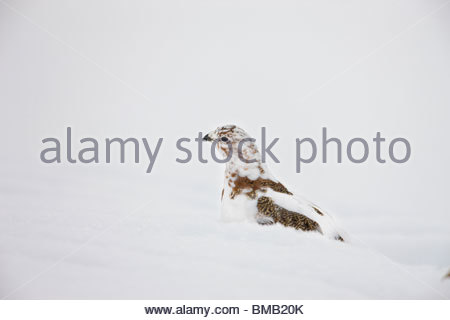 A willow ptarmigan half way changed from it's summer brown plummage to it's winter white plummage, forages for food - Stock Photo