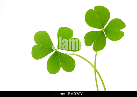 Clover leaf isolated on a white - Stock Photo