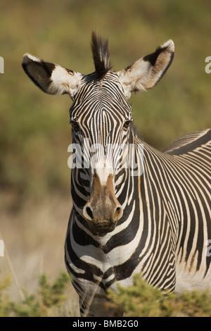 Grevy's zebra or Imperial zebra, Equus grevyi, Samburu National Park, Kenya, East Africa - Stock Photo