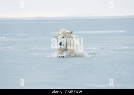 polar bear, Ursus maritimus, young bear plays in slushy waters during fall freeze up, off a barrier island - Stock Photo