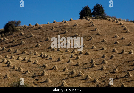 Piles of dried corn stalks sit in a field after harvest in Morelos State, Mexico. - Stock Photo
