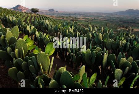 Nopal Fields near Tlayacapan, Mexico, February 5, 2008. Photo/Chico Sanchez - Stock Photo