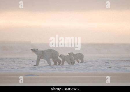 Female polar bear with two cubs along the Alaskan arctic coast in autumn - Stock Photo