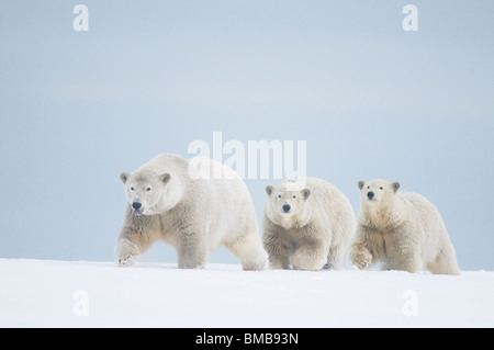 Female polar bear with two cubs on pack ice, along the Alaskan arctic coast in autumn - Stock Photo