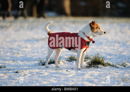 Parson Jack Russell in bright red winter coat looking into the setting sun on a snowy afternoon - Stock Photo