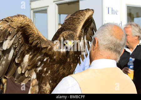 Startled golden eagle with handler at Gransden & District Agricultural Society Show 2008 - Stock Photo