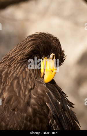 eagles head, eagle in his natural environment - Stock Photo