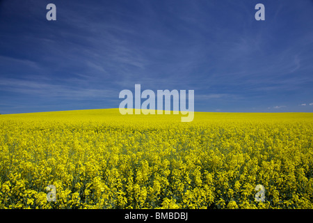 Rapeseed field against a blue sky - Stock Photo