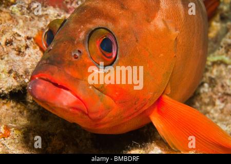 Epinephelus fasciatus, Blacktip grouper - Stock Photo