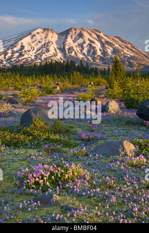 Mount St. Helens National Volcanic Monument, WA Dawn on Mount St. Helens from a meadow of lupine and penstemon at Lahar Stock Photo