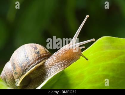 Garden snail, Helix aspersa. - Stock Photo