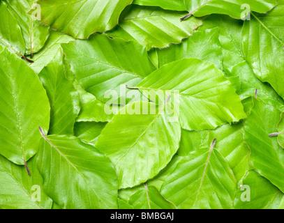 Beech leaves, Fagus sylvatica. - Stock Photo