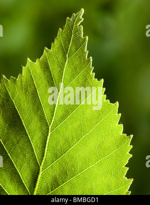 Silver birch leaf, Betula pendula - Stock Photo