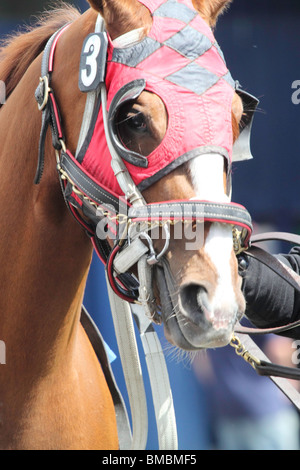 Race horse all tacked up with red mask, saddle and bridle being led around the paddock waiting for his jockey. - Stock Photo