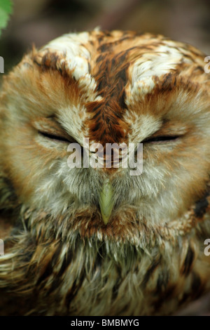 Sleepy wild Eurasian Tawny Owl (Strix aluco) - Stock Photo
