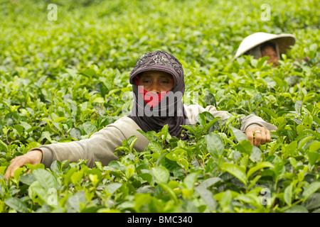 Female tea picker picking tea leaves in Wonosari Tea Plantation, East Java, Indonesia - Stock Photo
