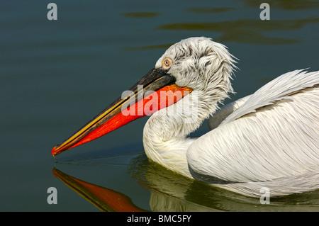 Dalmatian Pelican (Pelecanus crispus) floating on a lake - Stock Photo