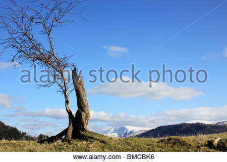 tree in Lake District, silhouetted against the blue sky with snow covered fells in the distance. Cumbria - Stock Photo