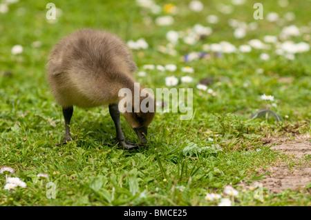Greylag Goose gosling, Anser anser, at Slimbridge WWT in Gloucestershire, United Kingdom - Stock Photo