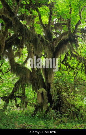 Hall of Mosses, Hoh Rain Forest, Olympic National Park, Washington State, USA - Stock Photo