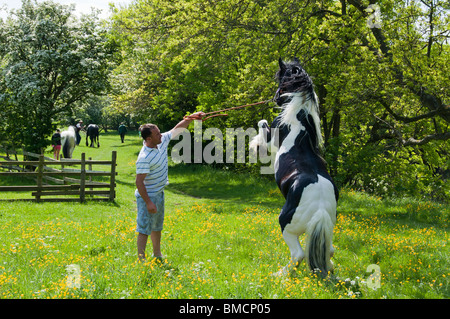 Merlin, a five year old gypsy vanner standing on his back paws with his owner - Stock Photo