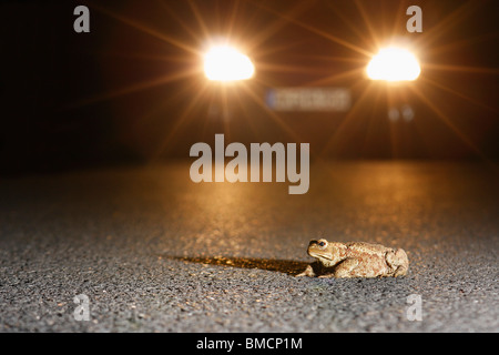 European common toad (Bufo bufo), a toad sits on a street in front of  an approaching car, Germany, Rhineland-Palatinate - Stock Photo