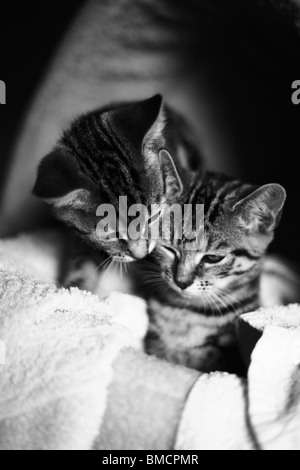 Two kittens cleaning each other and trying to sleep on a white blanket. - Stock Photo