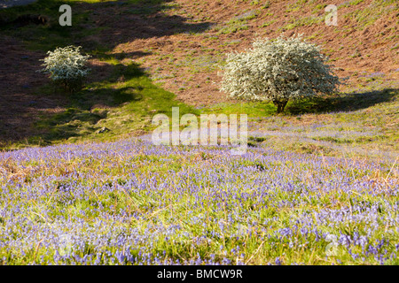 Bluebells and flowering Hawthorn trees on Loughrigg Terrace above Grasmere, Lake District, UK. - Stock Photo