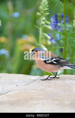 Male chaffinch on a garden wall garden eating seed - Stock Photo