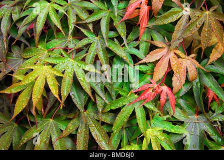 japanese maple acer leaves with rain drops - Stock Photo
