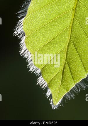 Beech leaf in spring, Fagus sylvatica - Stock Photo