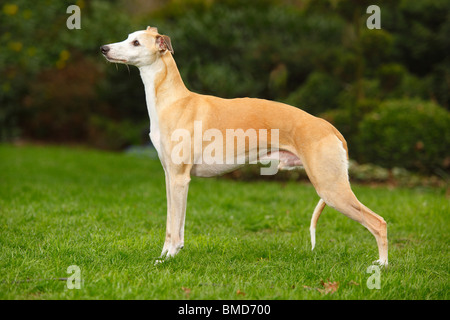 Whippet / side - Stock Photo
